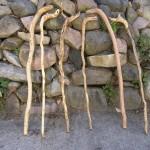sapling canes